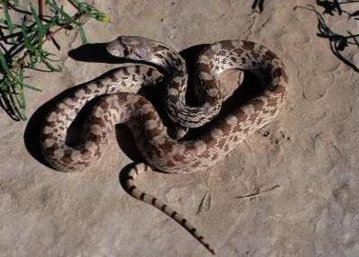 Looks like a rattlesnake without rattle 11